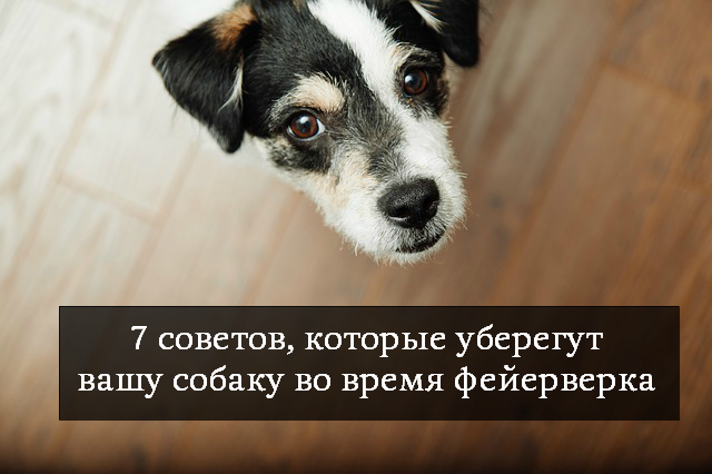 7 советов, которые уберегут вашу собаку от стресса во время фейерверка